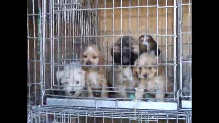 Vlaanderen: 'Nederland moet beter samenwerken en strenger optreden tegen malafide hondenhandelaren'