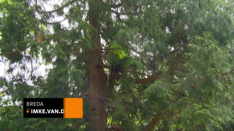 Nk boomklimmen in breda 39 het is leuk om bij anderen af te kijken hoe zij het doen 39 omroep brabant - Hoe een boom te verlichten ...