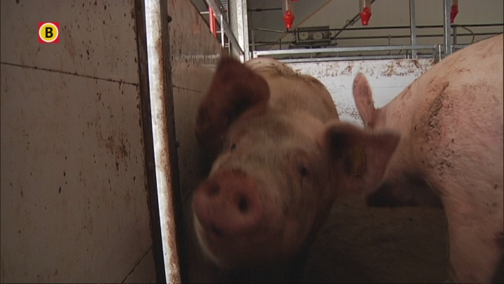 Liever in de varkensstal dan vakantie vieren