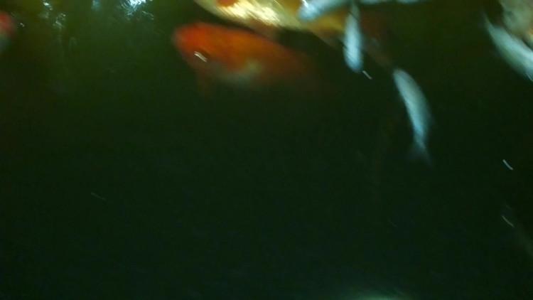 Vissen In Vijver : Vissen leggen het loodje in tijdelijke bak tijdens leegpompen vijver