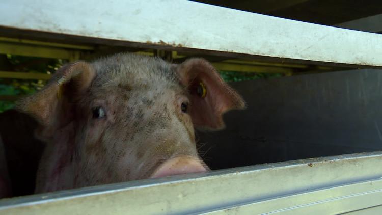 Opnieuw varkenstransporteurs in de fout bij slachterij VION in Boxtel