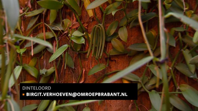 Vanille telen op Madagaskar? Nee! Gewoon in het tropische Dinteloord