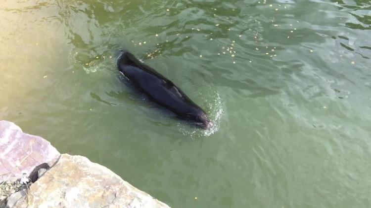 De zeeleeuwen kiezen 'het ruime sop'